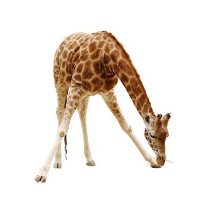 Posters grande girafe isolé sur un fond blanc