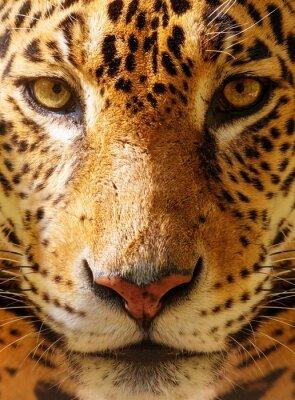 Posters Gros plan d'un magnifique léopard