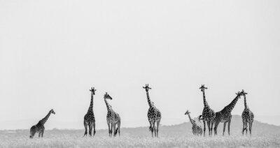 Posters Groupe de girafes dans la savane. Kenya. Tanzanie. Afrique de l'Est. Une excellente illustration.