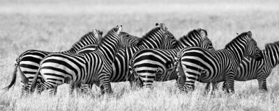 Posters Groupe de zèbres dans la savane. Kenya. Tanzanie. Parc national. Serengeti. Maasai Mara. Une excellente illustration.