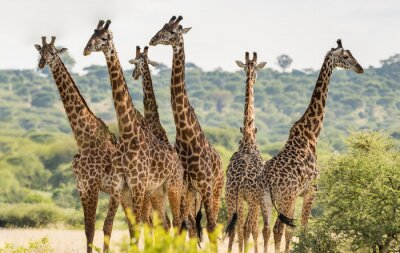 Posters Groupe, six, girafes, Tarangire, national, Parc, Tanzanie