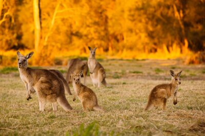 Posters Herd of kangaroos at twilight