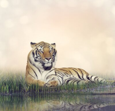 Posters Homme, tigre, reposer