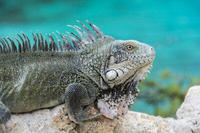 Posters Iguana à Playa Lagun, Curaçao