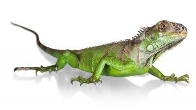 Posters Iguana, Lézard, Reptile.