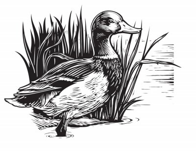 Posters illustration of a duck