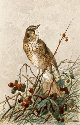 Posters Illustration Zoologique / Turdus philomelos / Grive Musicienne