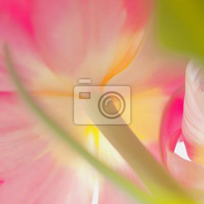 Image carrée de couleur de tulipe rose de près
