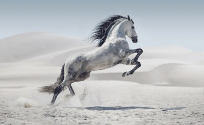 Posters Image présentant le cheval blanc au galop