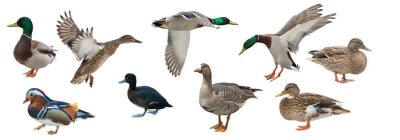 Posters isolated on white nine ducks
