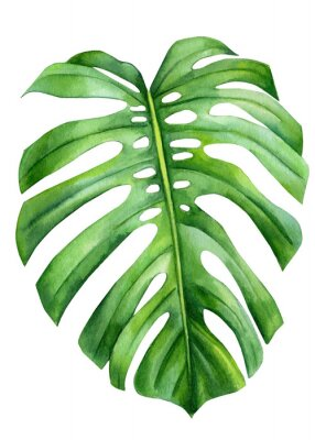 Posters Jungle green leaves of monstera creepers on an isolated white background, watercolor illustration, botanical painting