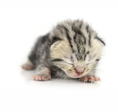 Posters Kitten isolé sur fond blanc
