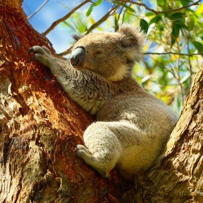 Posters Koalas long de la Great Ocean Road, Victoria, Australie
