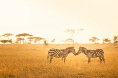 Posters L'amour de zèbre dans le Serengeti