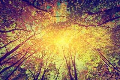 Posters L'automne, chute d'arbres. Soleil à travers les feuilles colorées. Millésime