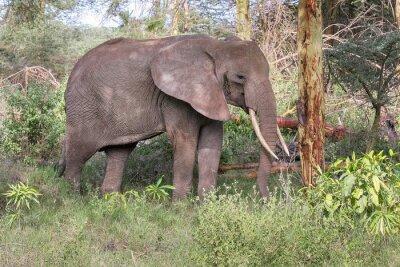 Posters L'éléphant adulte avec de grandes défenses se profilent près du tronc d'arbre. Lac Manyara National Park, Tanzanie, Afrique.