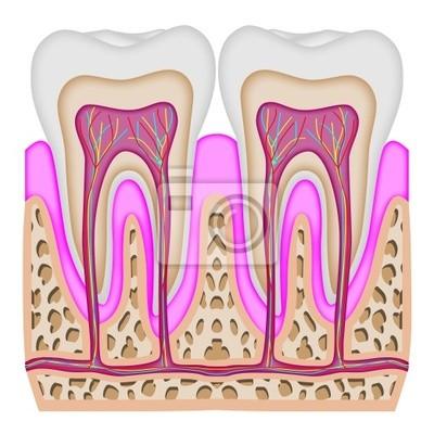 Posters L'intersection de la dent