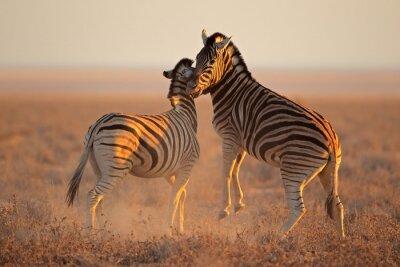 Posters La lutte contre les zèbres de plaines, le parc national d'Etosha