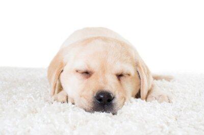 Posters Labrador, chiot, dormir, moquette, moquette