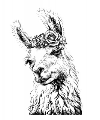 Posters Lama/Alpaca. Sticker on the wall in the form of an outline, hand-drawn artistic portrait of a lama on a white background.