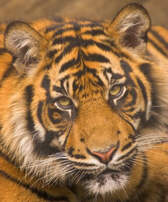 Posters le tigre de Sumatra