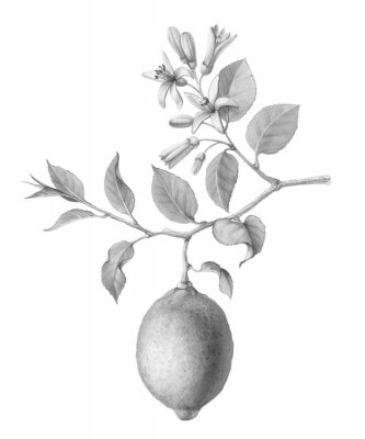 Posters Lemon Tree Fruit and Flowers Hand-drawn Pencil Illustration Isolated on White