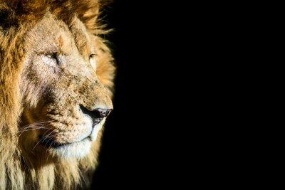 Posters leone - lion