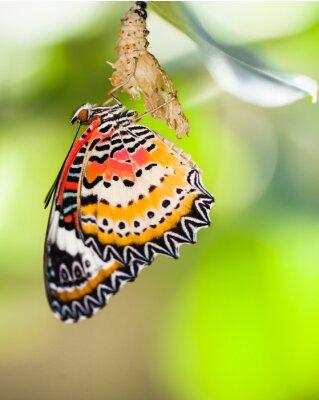 Posters Léopard, dentelle, papillon, sortir, dehors, pupa