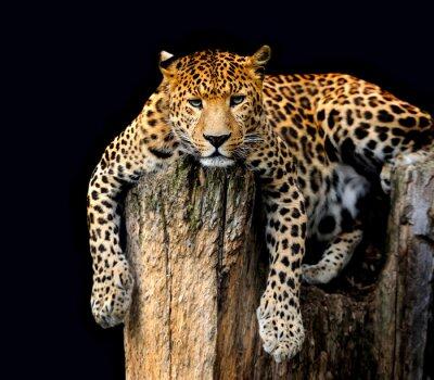 Posters Leopard Isolé sur fond noir