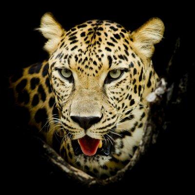Posters Leopard portrait