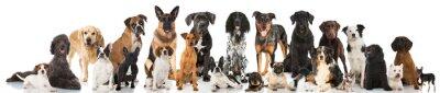 Posters Les chiens de race