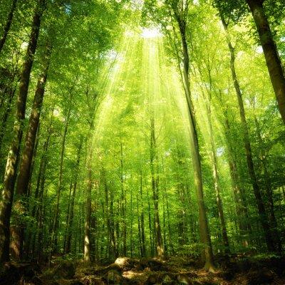 Posters Les rayons du soleil dans la forêt de hêtres