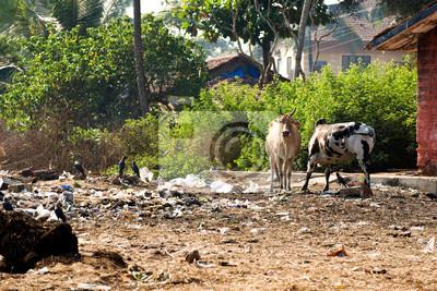Les vaches sacrées en Inde se nourrissant de déchets