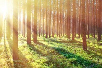 Posters Lever du soleil dans la forêt de pins