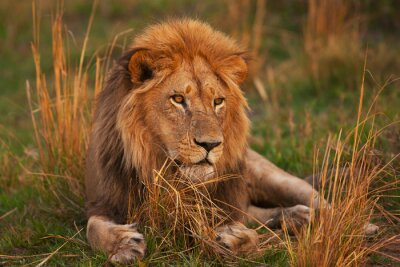Posters lion
