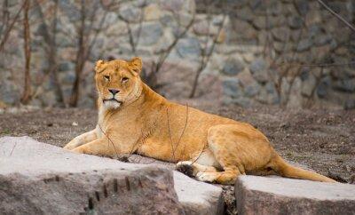 Posters Lion d'Afrique