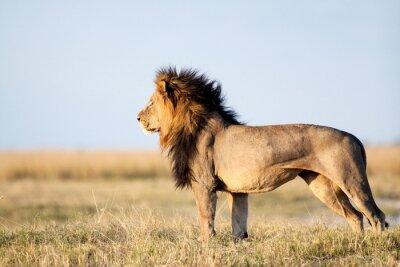 Posters Lion mâle
