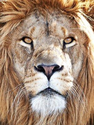Posters Lion (Panthera leo)