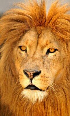 Posters lion seul