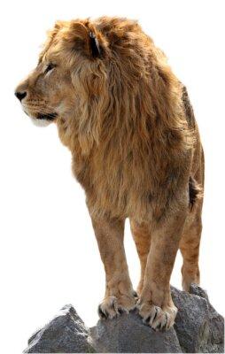 Posters Lion sur une des pierres