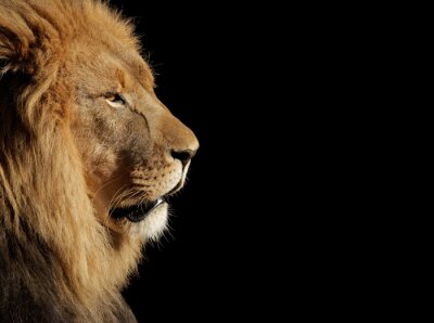 Posters Male African lion on black