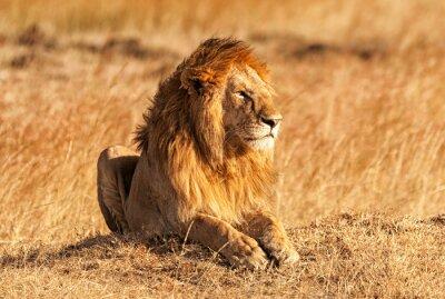 Posters Male lion dans le Masai Mara