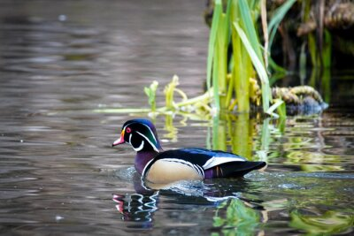 Posters male wood duck on the water