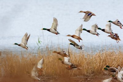 Posters Mallard duck flying over the lake