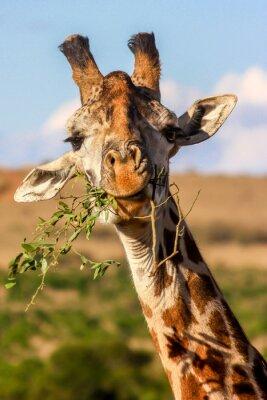 Posters Manger, girafe