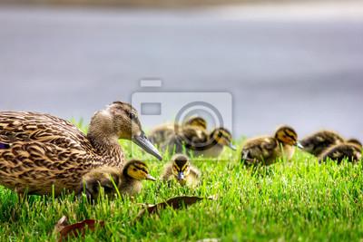 Posters Mère canard et canetons dans l'herbe
