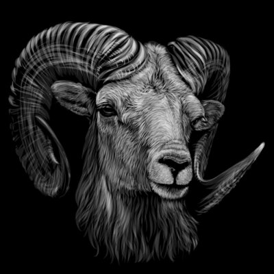 Posters Mountain sheep. Artistic, monochrome, black and white, hand-drawn portrait of a mountain sheep on a black background.