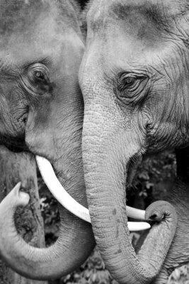 Posters Noir et blanc photo en gros plan de deux éléphants étant affectueux.