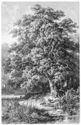 Posters Oak / vintage illustration from Meyers Konversations-Lexikon 1897