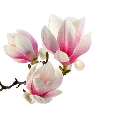 odeur de magnolia